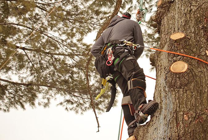 Elmore's Tree Service employee trimming a tree